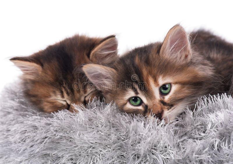 Siberische katjes royalty-vrije stock foto
