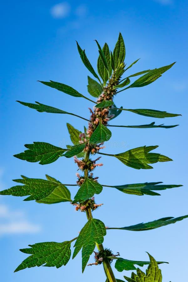 Siberische motherwort van geneeskrachtige installatieskruiden, Latijnse sibiricus van naamleonurus, stock foto's