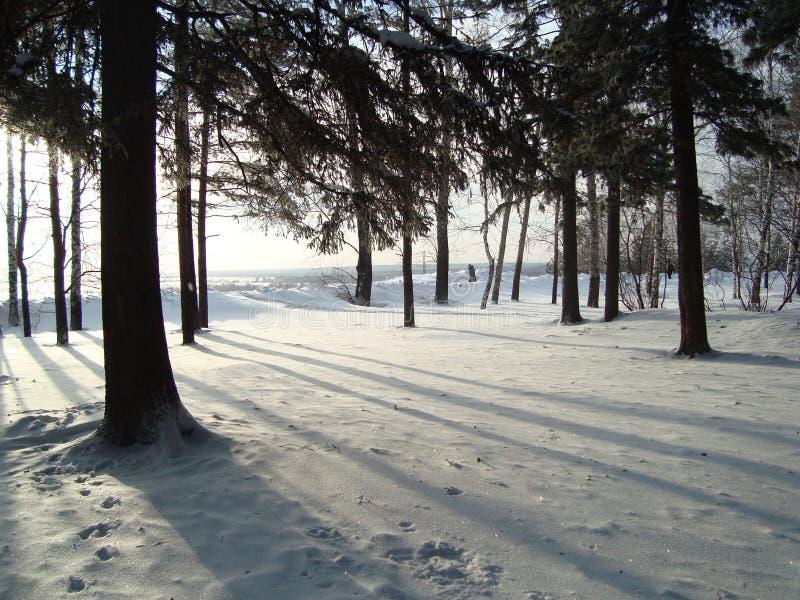 Siberische pijnbomen, berken royalty-vrije stock afbeelding