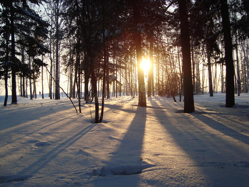 Siberische pijnbomen, berken stock afbeeldingen