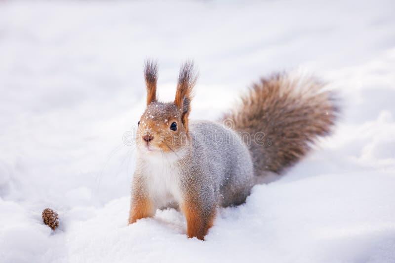 Siberische rode eekhoorn in het de winterhout op zoek naar voedsel stock foto