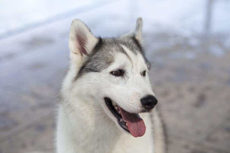 Siberische schor hond stock foto's