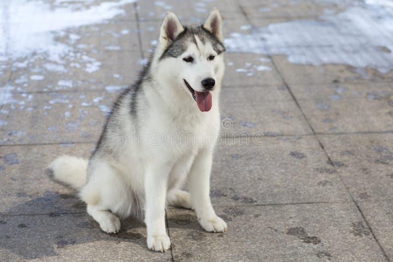 Siberische schor hond royalty-vrije stock foto's
