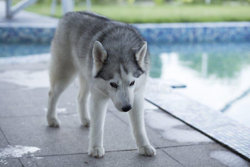 Siberische schor hond royalty-vrije stock afbeeldingen