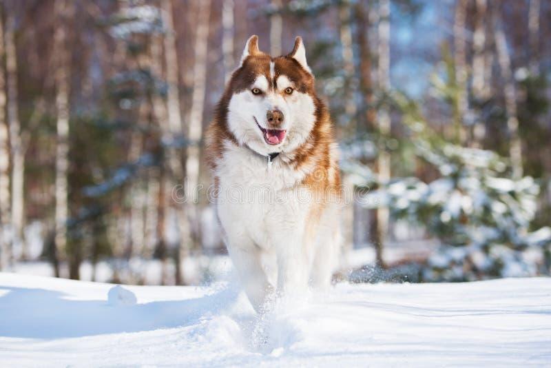 Siberische schor hond die in de sneeuw lopen royalty-vrije stock afbeelding