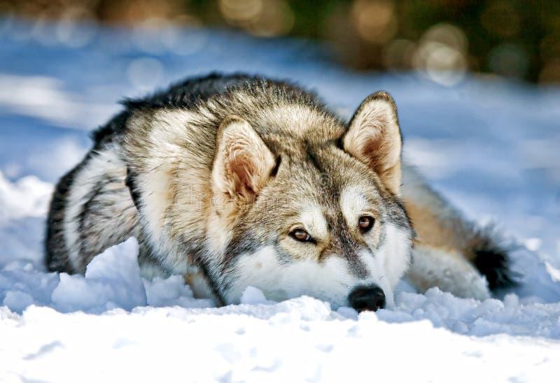 Siberische Schor Hond die in Sneeuw legt stock foto's