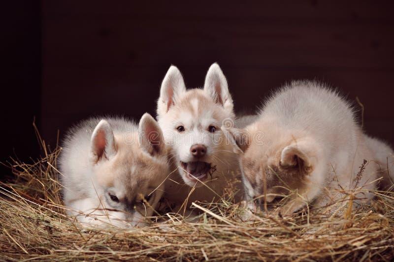 Siberische schor hond drie het portret van de puppystudio in een hooi stock foto's