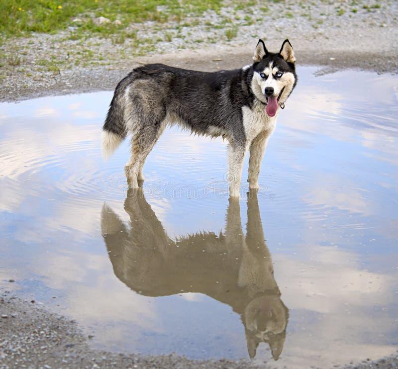 Siberische schor hond royalty-vrije stock fotografie