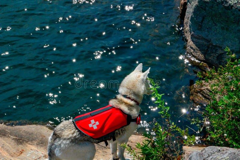Siberische Schor lichtrood en wit met de kleuren van verschillende ogen draagt reddingsvest in zwembad Het zwemmen van de hond Ho royalty-vrije stock fotografie