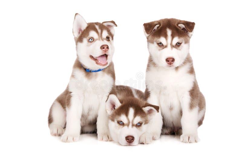 Siberische schor puppy die op wit stellen royalty-vrije stock afbeeldingen