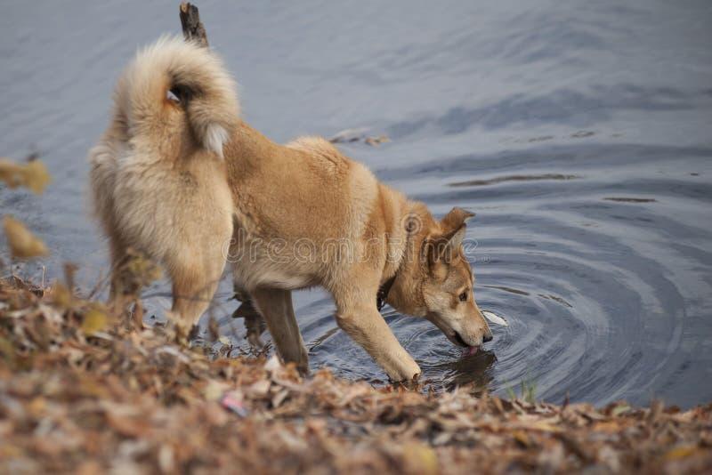 Siberische is schor van het puppywesten drinkwater van de rivier op de jacht stock afbeelding