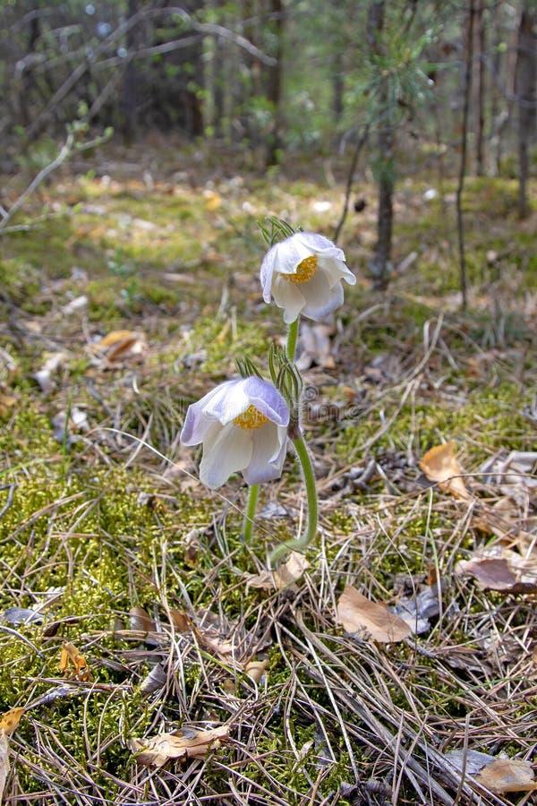 Siberische sleutelbloemen De eerste lente bloeit in het bos, Rusland, Khakassia-slaap-gras Vermeld in het rode boek stock afbeeldingen