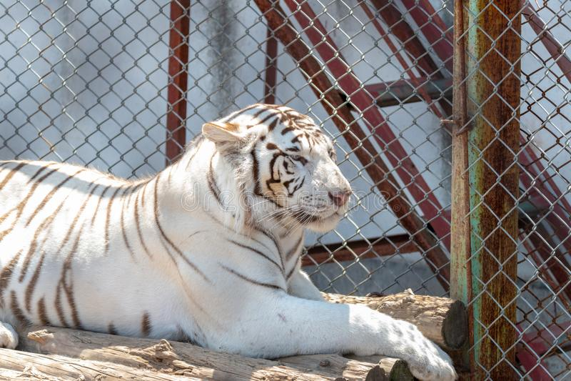 Siberische Sneeuwtijger in dierentuin, witte en bruine bont, die buiten in zon zitten, stock foto's