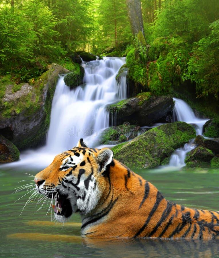 Siberische tijger royalty-vrije stock afbeelding