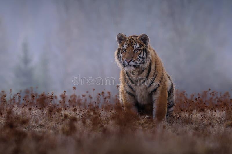 Siberische Tijger in de sneeuw Panthera Tigris stock fotografie