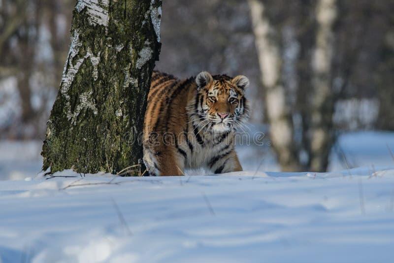 Siberische Tijger in de sneeuw Panthera Tigris royalty-vrije stock foto's