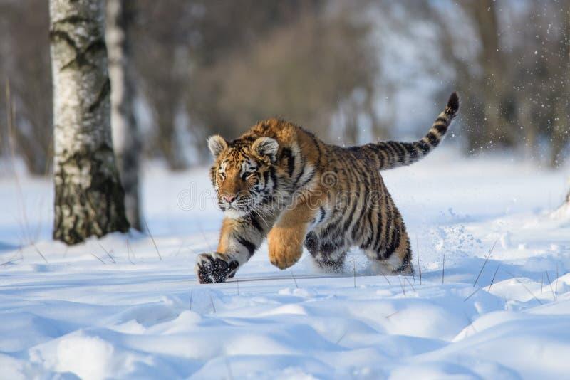 Siberische Tijger in de sneeuw Panthera Tigris royalty-vrije stock afbeeldingen