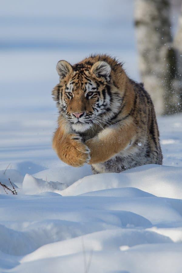 Siberische Tijger in de sneeuw Panthera Tigris royalty-vrije stock afbeelding