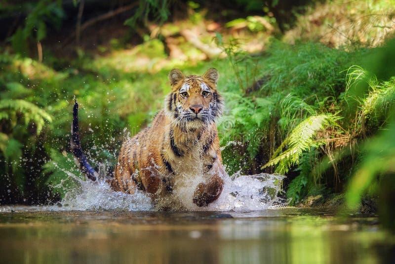 Siberische tijger die in de rivier lopen Tijger met het bespatten van water stock afbeelding