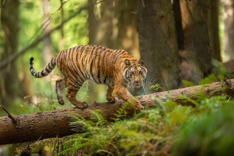 Siberische tijger die op een gevallen boom in taiga lopen Wildernisbos met gevaarlijk dier Panthera Tigris Altaica stock afbeeldingen