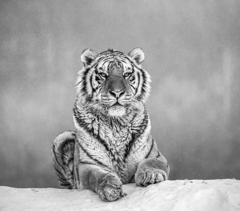 Siberische tijger die op een snow-covered heuvel liggen Portret tegen het Zwart-witte de winterbos China royalty-vrije stock fotografie