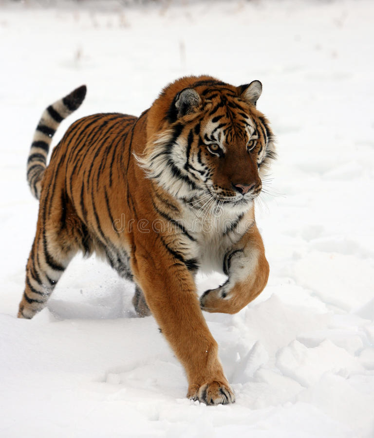 Siberische Tijger die in sneeuw loopt royalty-vrije stock afbeelding