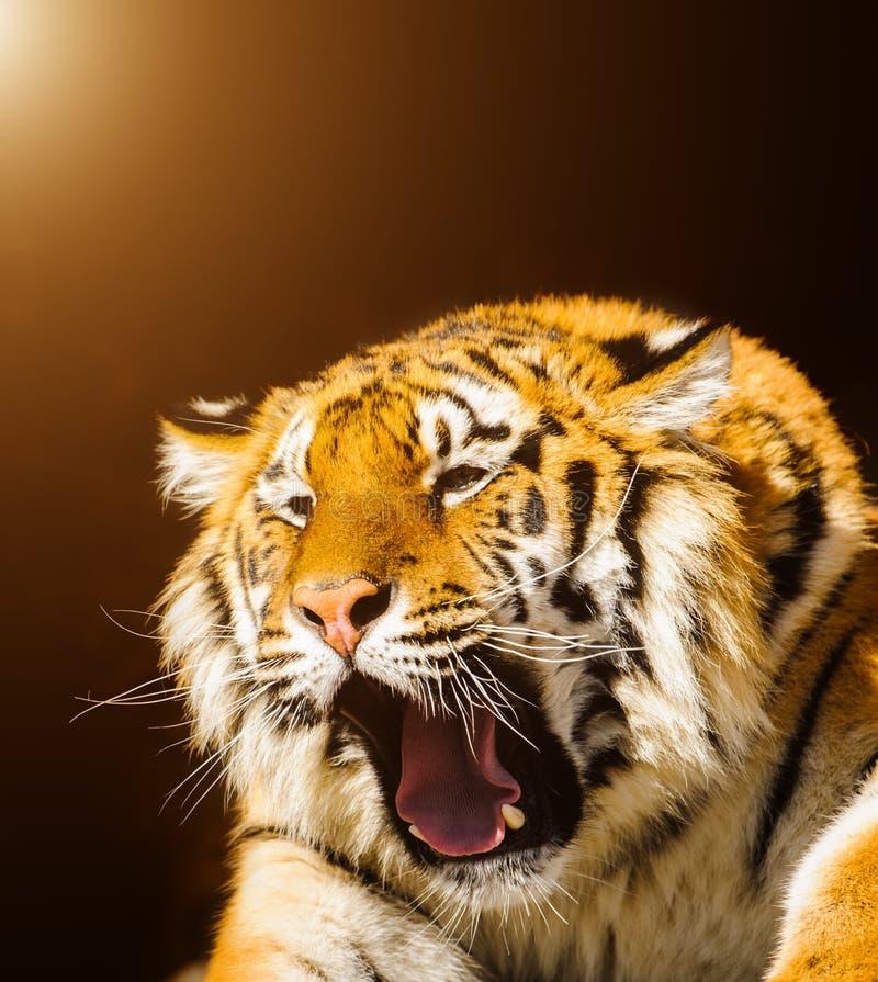siberische tijger met open mond De tijger groeit royalty-vrije stock foto