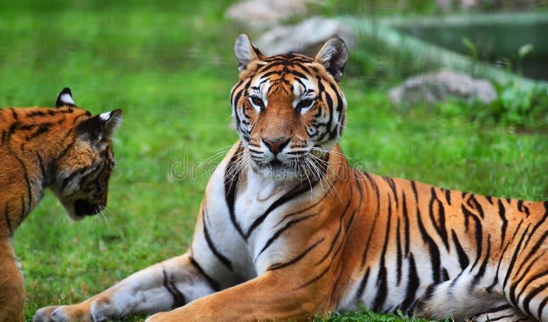 Siberische tijger in safari royalty-vrije stock afbeeldingen