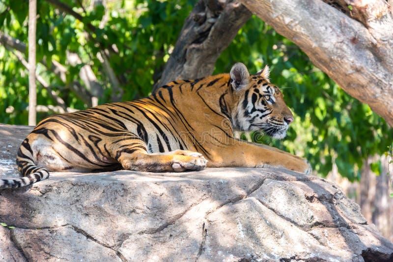 Siberische tijger in Safari World, Bangkok Thai royalty-vrije stock fotografie