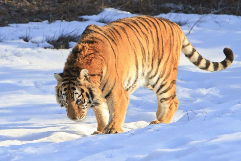Siberische tijger in sneeuw royalty-vrije stock afbeelding