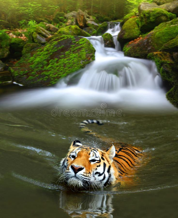 Siberische tijger in water stock fotografie