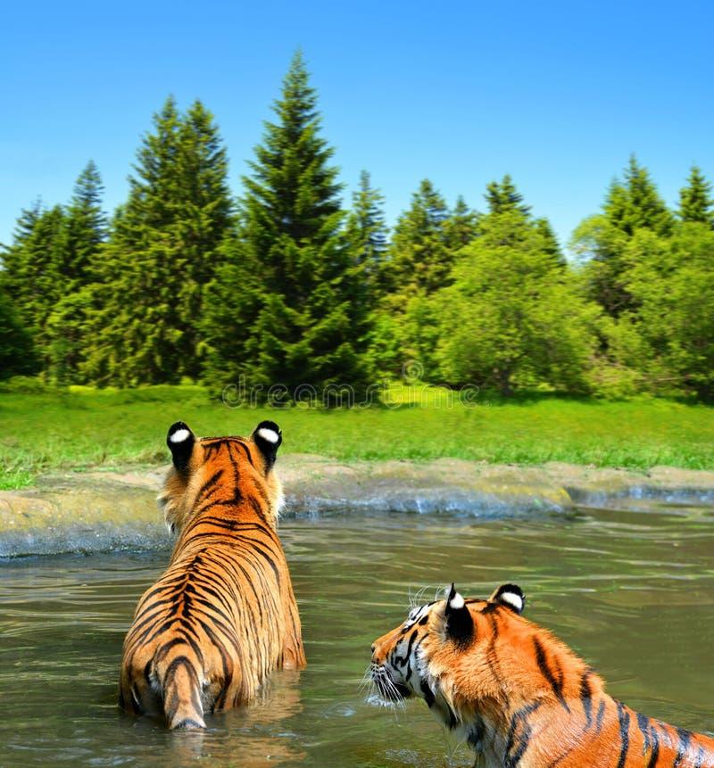 Siberische tijger in water stock afbeelding