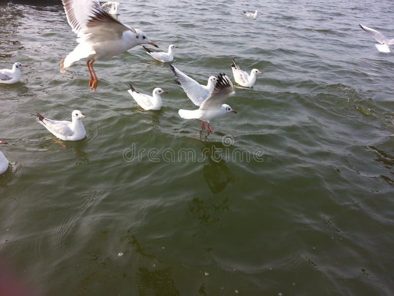Siberische vogels stock afbeelding