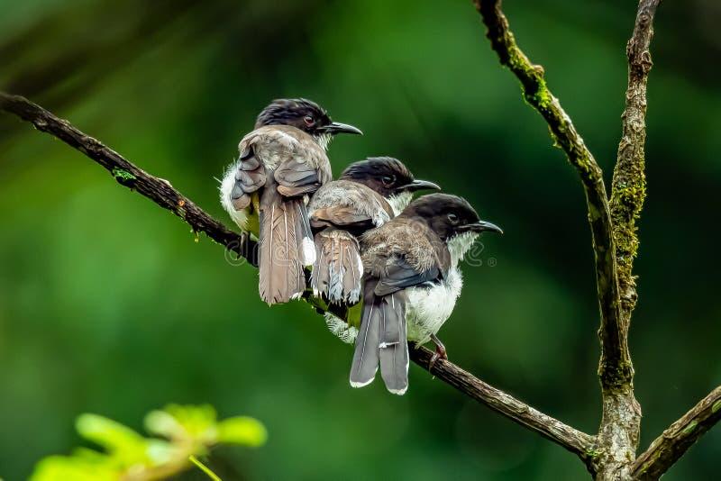 Sibia Escuro-suportado três que empoleira-se próximos um do outro em uma vara em uma selva imagem de stock
