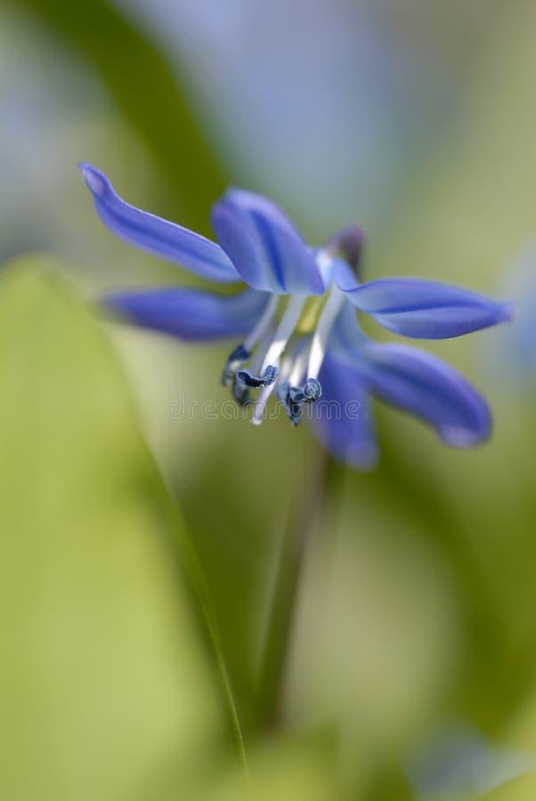 Sibirica de Scilla - flor azul encantadora da mola imagem de stock