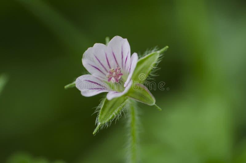 Sibiricum de géranium, fleur sauvage blanche minuscule dans le jardin, macro, fin  photos stock