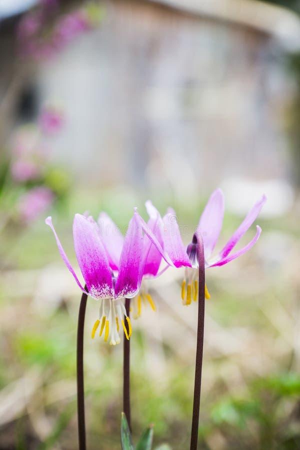 Sibiricum sibérien d'Erythronium de lis de faon photos libres de droits