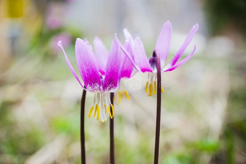 Sibiricum sibérien d'Erythronium de lis de faon photo stock