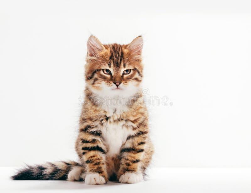 Sibirienkatze, ein kitteniges Portrait auf weißem Hintergrund lizenzfreie stockfotografie