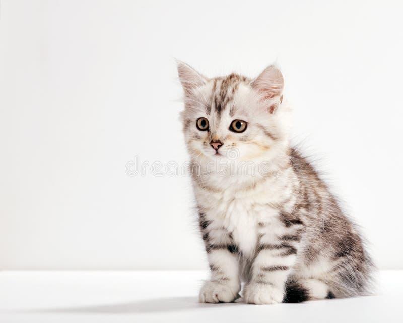 Sibirienkatze, ein kitteniges Portrait auf weißem Hintergrund lizenzfreie stockbilder