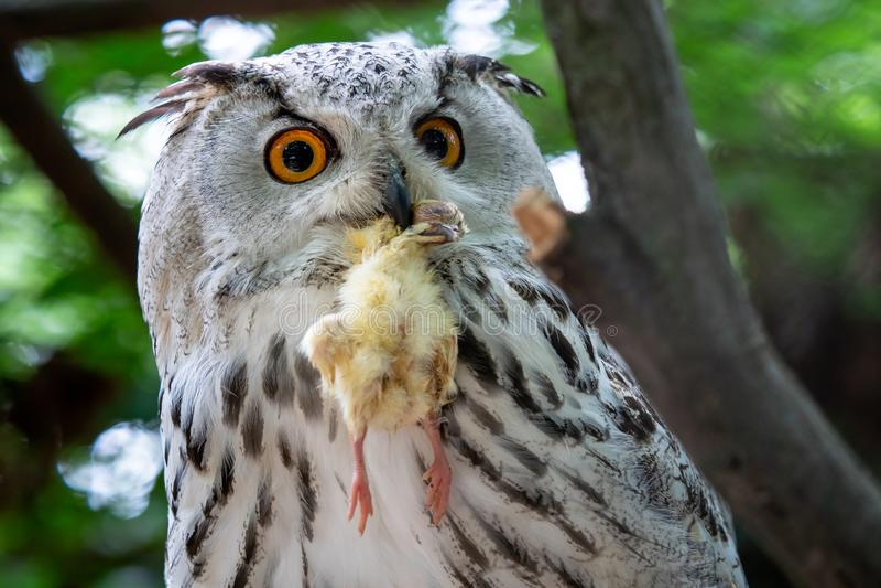 Sibirier Eagle Owl mit Opfer im Schnabel stockbild