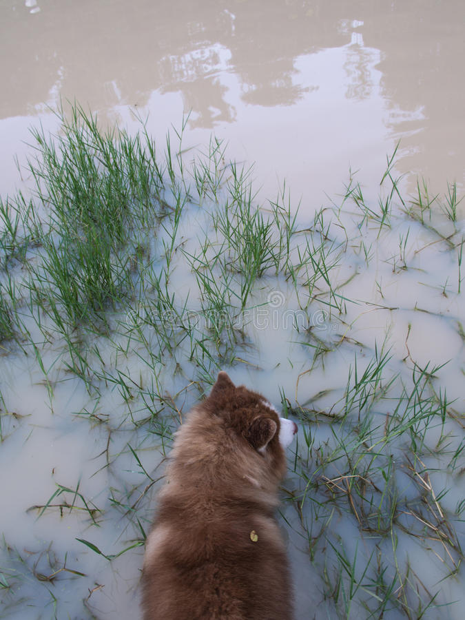 Sibirier Husky Walking im Teich stockbilder