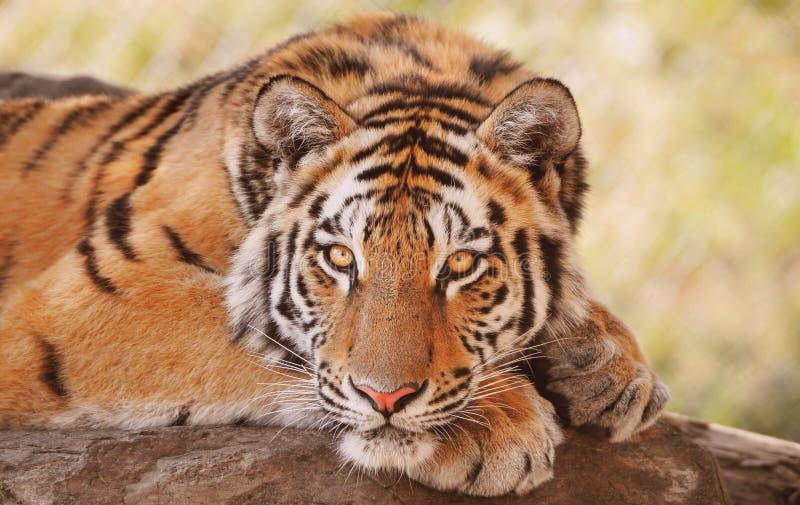Sibirier- oder Amur-Tiger   lizenzfreie stockfotos