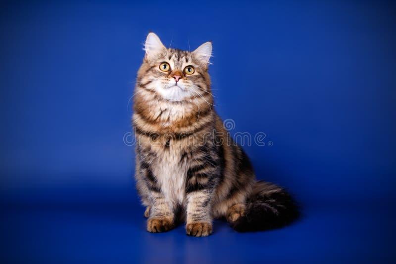 Sibirische Katze auf farbigen Hintergründen lizenzfreie stockfotos
