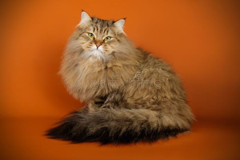 Sibirische Katze auf farbigen Hintergründen stockbilder