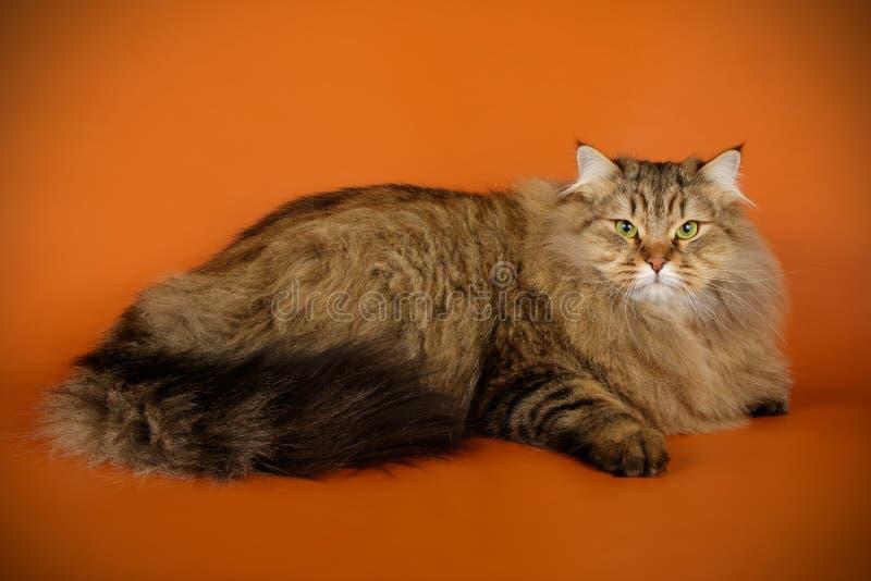 Sibirische Katze auf farbigen Hintergründen stockfotografie