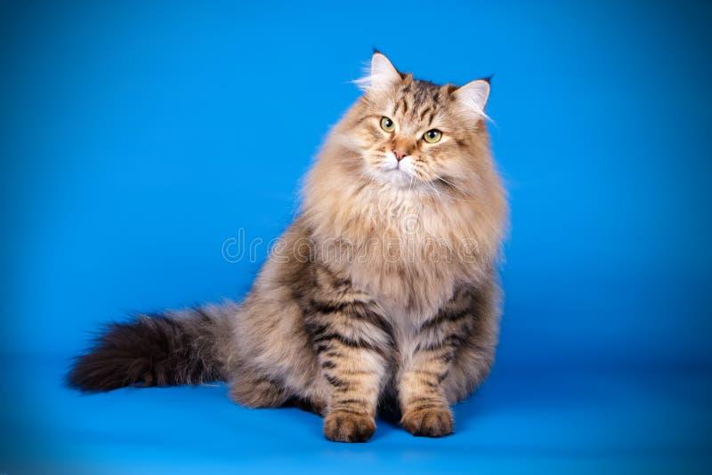 Sibirische Katze auf farbigen Hintergründen stockfoto
