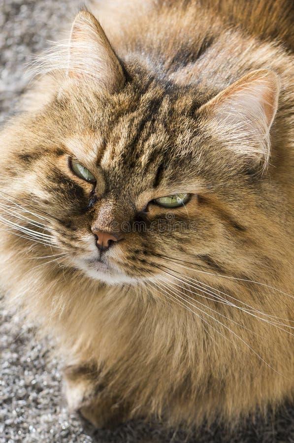 Sibirische Katze Brown-Makrele des Viehbestandes, langhaariges hypoallergenic Kätzchen lizenzfreie stockfotos