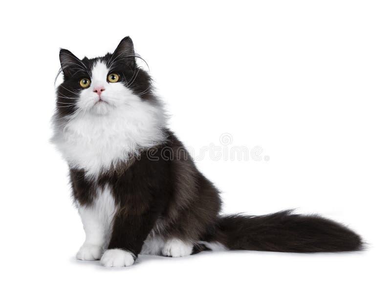 Sibirische Katze des entzückenden schwarzen Rauches lokalisiert auf weißem Hintergrund lizenzfreies stockfoto