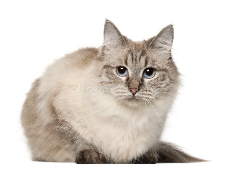 Sibirische Katze, vor weißem Hintergrund stockbilder
